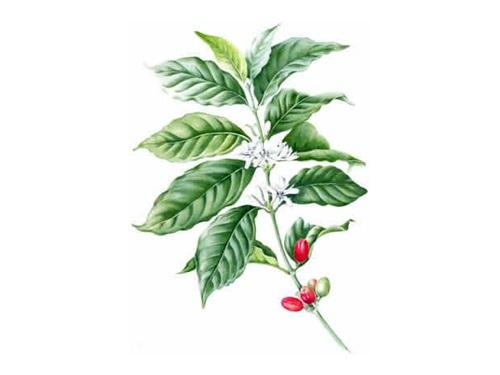 Kava - složena biljka bez hranjive vrijednosti